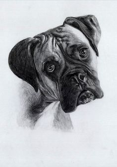 "Drawing of a Boxer - studio ""Zeichenfuchs"", Cologne/Germany"