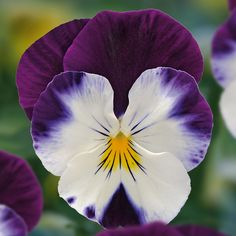 Viola 'Volante Purple Face' - Perennial & Biennial Plants - Thompson & Morgan