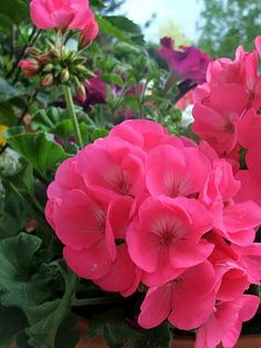 "zonal: Often called a ""geranium"", ""zonal geranium"" or ""zonal pelargonium"".standard zonal: Often called a ""geranium"", ""zonal geranium"" or ""zonal pelargonium"". Geranium Plant, Pink Geranium, Geranium Flower, All Flowers, Summer Flowers, Beautiful Flowers, Exotic Flowers, Purple Flowers, Pink Garden"