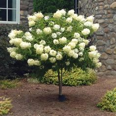 Limelight Hydrangea Tree Huge Hydrangea Blooms on a Dwarf Tree - The Limelight Hydrangea Tree is Being touted as one of the best performing bloomers of the past few years! These trees explode with blooms in early summer. Hydrangea Tree, Limelight Hydrangea, Hydrangea Not Blooming, Hydrangeas, Lilac Tree, Hydrangea Paniculata, Landscaping Trees, Outdoor Landscaping, Outdoor Gardens