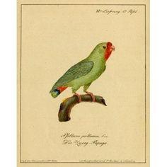 Pygmy Parrot Canvas Art - CW Hahn (24 x 36)