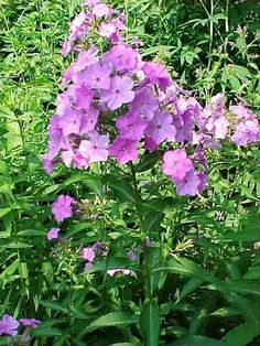 Phlox maculata - Wild Sweet William