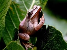 Frog on Leaf Image, India - National Geographic Photo of the Day