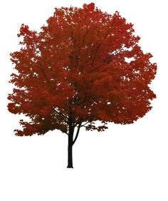 Tree Png Image Free Download Picture