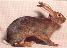 Rabbit - Belgian Hare http://www.petplanet.co.uk/small_breed_profile.asp?sbid=12