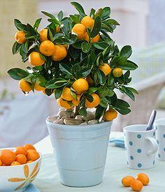 calamondin orange!!! Baby orange plant that can live on my windowsill!!!!