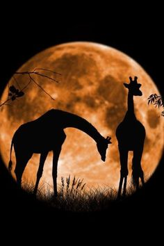 Love the moon in the background! A silhouette of giraffes.