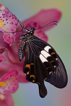 Resting Tropical Butterfly, Papilio helenus, Photograph by:  Darrell Gulin