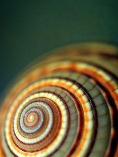 Snail shell closeup.