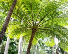 Cyathea cooperi (Tree Fern; Rough Barked Tree Fern; Straw Tree Fern; Scaly Tree Fern) - native to QLD and NSW, Australia - grows to 6m