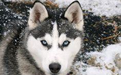 Husky Siberiano  Que el tamaño no te engañe. El Husky puede llegar a medir hasta 50cm, sin embargo su alimentación no puede ser tanta, ya que esta depende del peso.