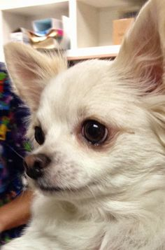 Chihuahua Temperament & Personality Click to read