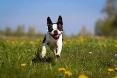ストックフォト : Boston Terrier dog running over dandelion meadow