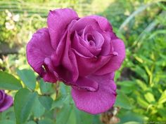 Purple Ground Cover, Pruning Roses, Traditional Roses, Garden Equipment, Old Rose, Home Garden Plants, Hardy Plants, Rose Photos, Blue Roses