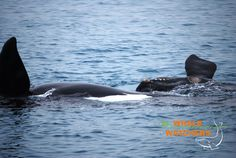 Southern Right Whale mating dance as viewed from the Whale Watchers vessel. Aug. 2014