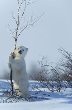 Baby Polar Bears Emerge From Winter Hibernation (PICTURES)