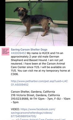 11/9/16 PLEASE SHARE HUCK!! OWNER SURRENDER!! /ij https://m.facebook.com/savingcarsonshelterdogs/photos/a.172032662969376.1073741830.171850219654287/676942532478384/?type=3&theater