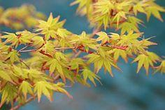 Dwarf: Calico - Davidsans Japanese Maples