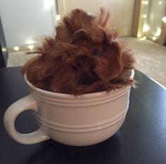 guinea piggys — guineapig-addict: Pumpkin spice latte, anyone? Cute Guinea Pigs, Pumpkin Spice Latte, Cute Pictures, Spices, Marshmallow, October, Creatures, Birthday, Animals