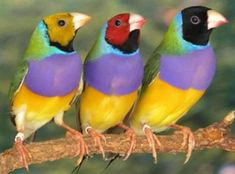 peacock beautiful bird - parrot colorful bird - Seed-Eating Birds - beautiful flamengo bird - Birds Crest - Fish Eeating Bird