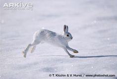 Snowshoe hare in winter pelage running across snow