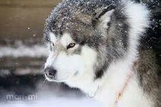 alaskan malamut by mari-mi on DeviantArt Husky Dog Names, Cute Husky Puppies, Malamute Puppies, Husky Pics, Husky Puppy, Siberian Husky Facts, Siberian Husky Puppies, Alaskan Husky, Alaskan Malamute