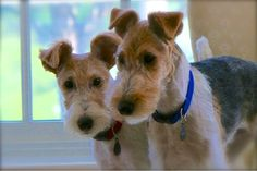 Ron and Eddie - Wire fox terrier puppies. Best of friends. Or companions in crime ?