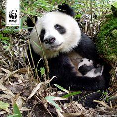Wusstet ihr, dass der Panda auch Bambusbär genannt wird? Vor vermutlich 8 Mio. Jahren entdeckte der Panda Bambus als Hauptnahrungsmittel und ernährt sich seitdem fast ausschließlich vegetarisch.