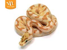 Banana Butter Enchi Spider - Morph List - World of Ball Pythons