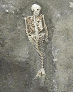 icu ~ Pin on Real mermaids ~ Here we just may have proof that Mermaids are real. Here we just may have videos and photos of real live mermaids, mermaid skeletons and a mummified mermaid. But is this evidence proof enough? Do Mermaids Exist, Real Mermaids Found, Real Life Mermaid Found, Real Life Mermaids, Mermaid Proof, Mermaid Art, Mermaid Paintings, Mermaid Tails, Tattoo Mermaid