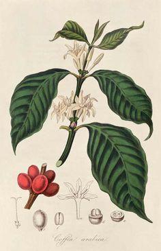 Le caféier / coffee tree, Les serres du Jardin des Plantes à Paris accueillent en 1714 un plan de caféier donné à Louis XIV par le bourgmestre d'Amsterdam et venu d'Ethiopie. De ce plan naîtront les caféiers des Antilles et de Guyane.