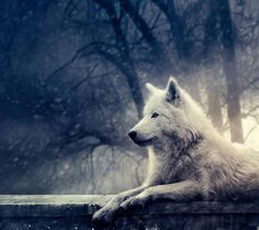White Wolf Lying Down