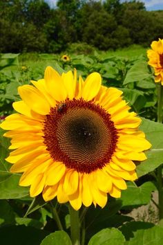Travel | Rhode Island | Sunflowers | Sunflower Field | Attractions | Sites | Unique | Things To Do | Family Friendly