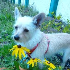 Sugar is an adoptable Chihuahua Dog in Orlando, FL. Sugar is a loving 2 year old, 11 lb Chihuahua / Wire Hair Terrier blend girl. Sugar is just the sweetest girl that lost her home and family allat ...