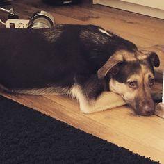 Justus Mischling Schäferhund-husky   Pawshake