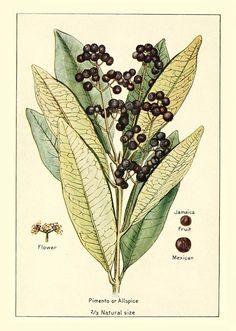 [ Botanical Print: Pimenta dioica ] Allspice ~ on Monterey Bay Spice Co.