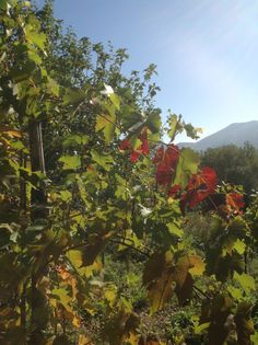 Autumn vines in Lunigiana, northern Tuscany