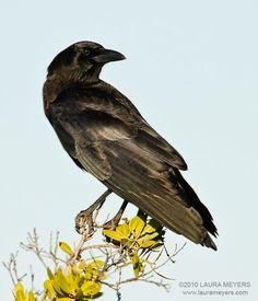 American Crow Animals And Pets, Baby Animals, Fort Myers Beach Florida, Blackbird Singing, American Crow, Common Birds, Crows Ravens, Bird Species, Bird Watching