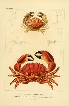 dendroica:  n468_w1150 by BioDivLibrary on Flickr.  Via Flickr:  Voyage dans l'Amérique Méridionale. v.9.  Paris :Pitois-Levrault,1835-47.  biodiversitylibrary.org/item/50740