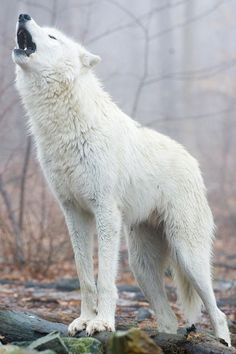 Tundra Wolf by Michael Berry