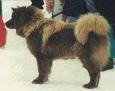 ARVELA SUOMEN, élevage de chien finnois de Laponie, suomenlapinkoira, lapinkoira