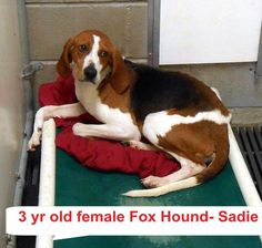 SADIE located in Elizabethtown, NC has 3 days Left to Live. Adopt him now! Female Fox, Pet Adoption, Animal Adoption, Let It Die, Kill List, Homeless Dogs, Faith In Humanity Restored, Day Left, The Fox And The Hound