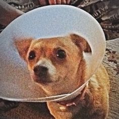 Most awesome Lil dog EVER!!!! In the cone of shame....