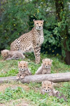 Jung_geparden_TOR1746_b CHEETAH CUBS  (BORN:  7/24/2014)