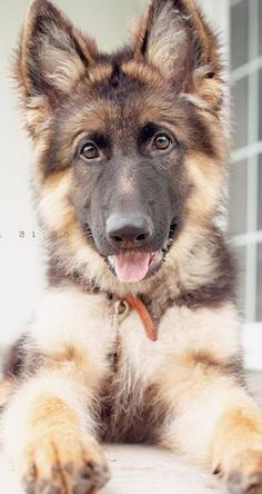 Click visit site and Check out Best German Shepherd T-shirts. This website is outstanding. Tip: You can search your name or your favorite shirts at search bar on the top. <<< IT'S A GERMAN SHEPHERD Animals And Pets, Baby Animals, Funny Animals, Cute Animals, Animals Images, Beautiful Dogs, Animals Beautiful, Cute Puppies, Dogs And Puppies