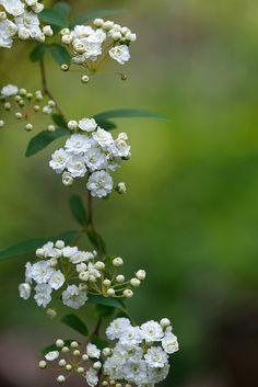 Spiraea cantoniensis 'Flore Pleno'.