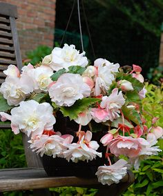 Scented Hanging Begonia  Scented begonias are fairly new to the market, therefore with begonia 'Angelique' you will have something unique for your patio or decking. Hanging begonia 'Angelique' has a delightful fragrance. This variety flowers very richly, producing handsome double blooms. Plant 5 tubers in a hanging pot for a spectacular effect. In addition you can enjoy beautiful flowers from June through to November.