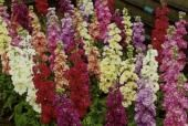 Stock Perfumed Giants - Sow Late Spring & Early Summer - HA 80cm