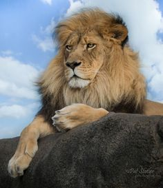 The Beauty and Majesty of a African Male Lion Resting on a Huge Slab of Rock.
