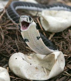 King Cobra hatchling